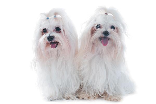 Perros malteses con cintas en el pelo.