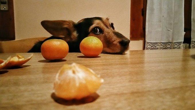 Perro con naranjas
