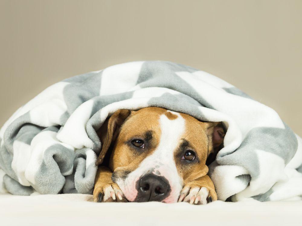 Perro enfermo con problemas de estómago se esconde debajo de la manta