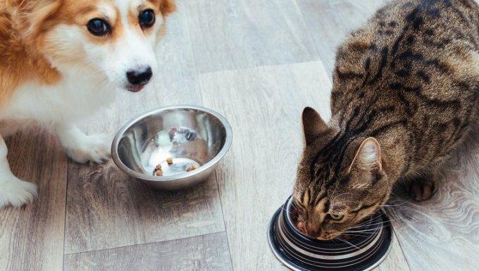 El perro y el gato se comen juntos en la cocina.  Vista cercana