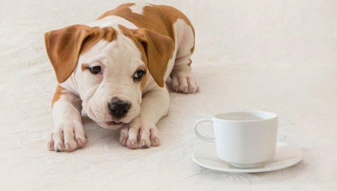 Cachorro, recién nacido, perro, mascota, primer plano, american staffordshire terrier, taza de café / té, invitación de té.  ¿Qué tan dañino es el té para los perros?