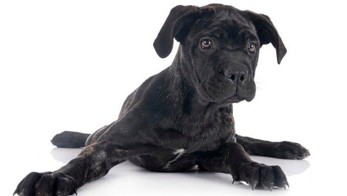 Mastín italiano cachorro delante de un fondo blanco