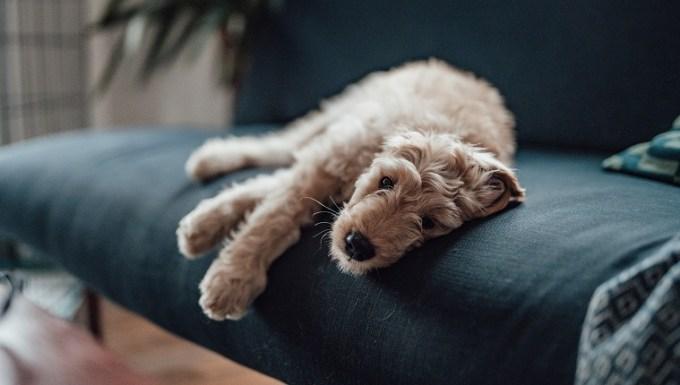 Goldendoodle joven descansando cómodamente en el sofá y mirando a la cámara.