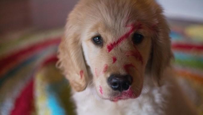 Cachorro de Golden Retriever que ha comido maquillaje