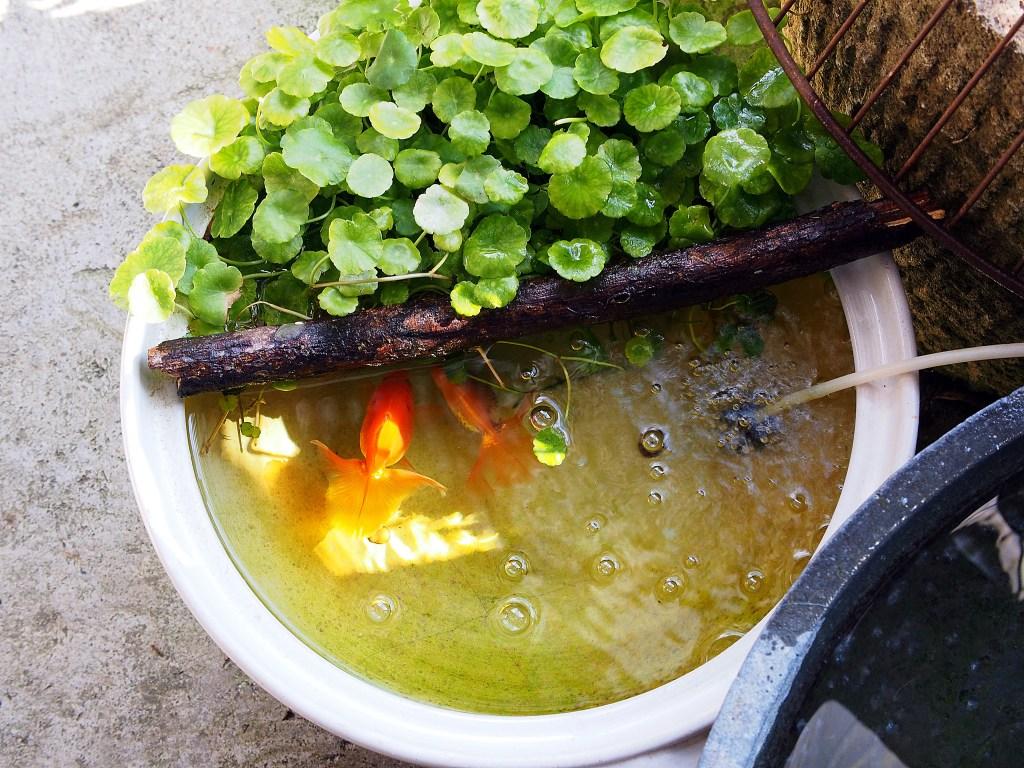 入口にある金魚鉢