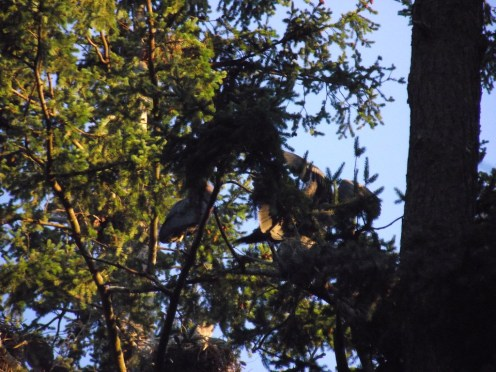 Victoria 2017: nesting herons