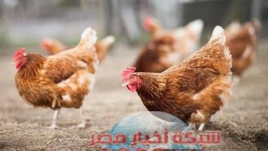 Photo of شبكه أخبار مصر ترصد لكم أسعار الدواجن اليوم الخميس ٦ اغسطس 2020