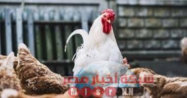 Photo of شبكه أخبار مصر ترصد لكم أسعار الدواجن اليوم الاثنين ١٠ اغسطس 2020