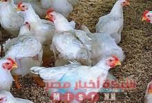 Photo of شبكه أخبار مصر ترصد لكم أسعار الدواجن اليوم الأربعاء ١٢ اغسطس 2020