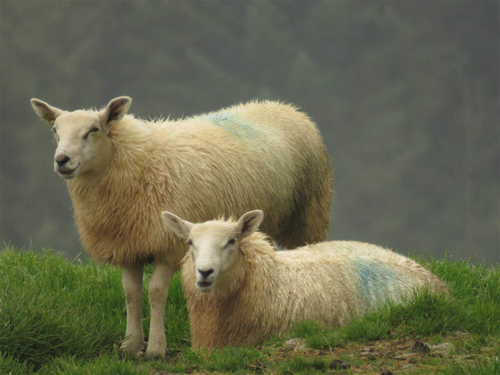 Sheep, Staylittle, mid Wales