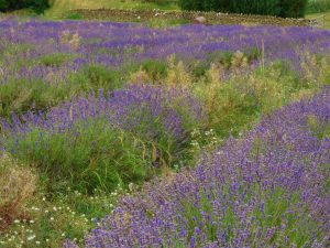 Somerset Lavender Farm, England