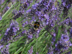 Bee in lavender, Somerset Lavender, England