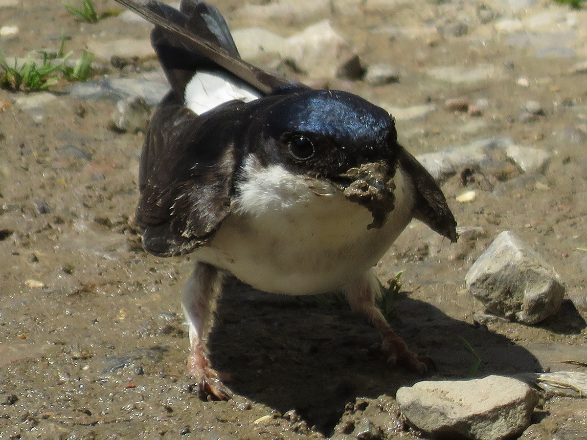Close up of a house martin at the National Trust's Lytes Cary Manor in Somerset