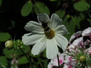 Bumblebee, National Garden Scheme, Somerset