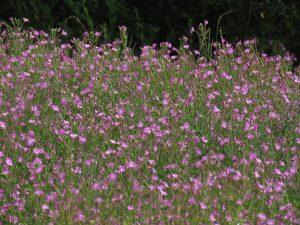 Wildflowers in Trellech, Wales