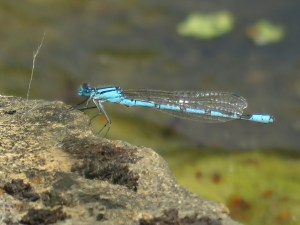 Damselfly at the National Trust's The Courts