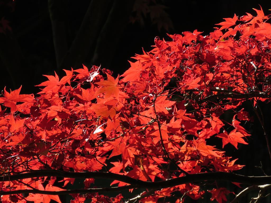 Autumn colour at Westonbirt Arboretum, Gloucestershire