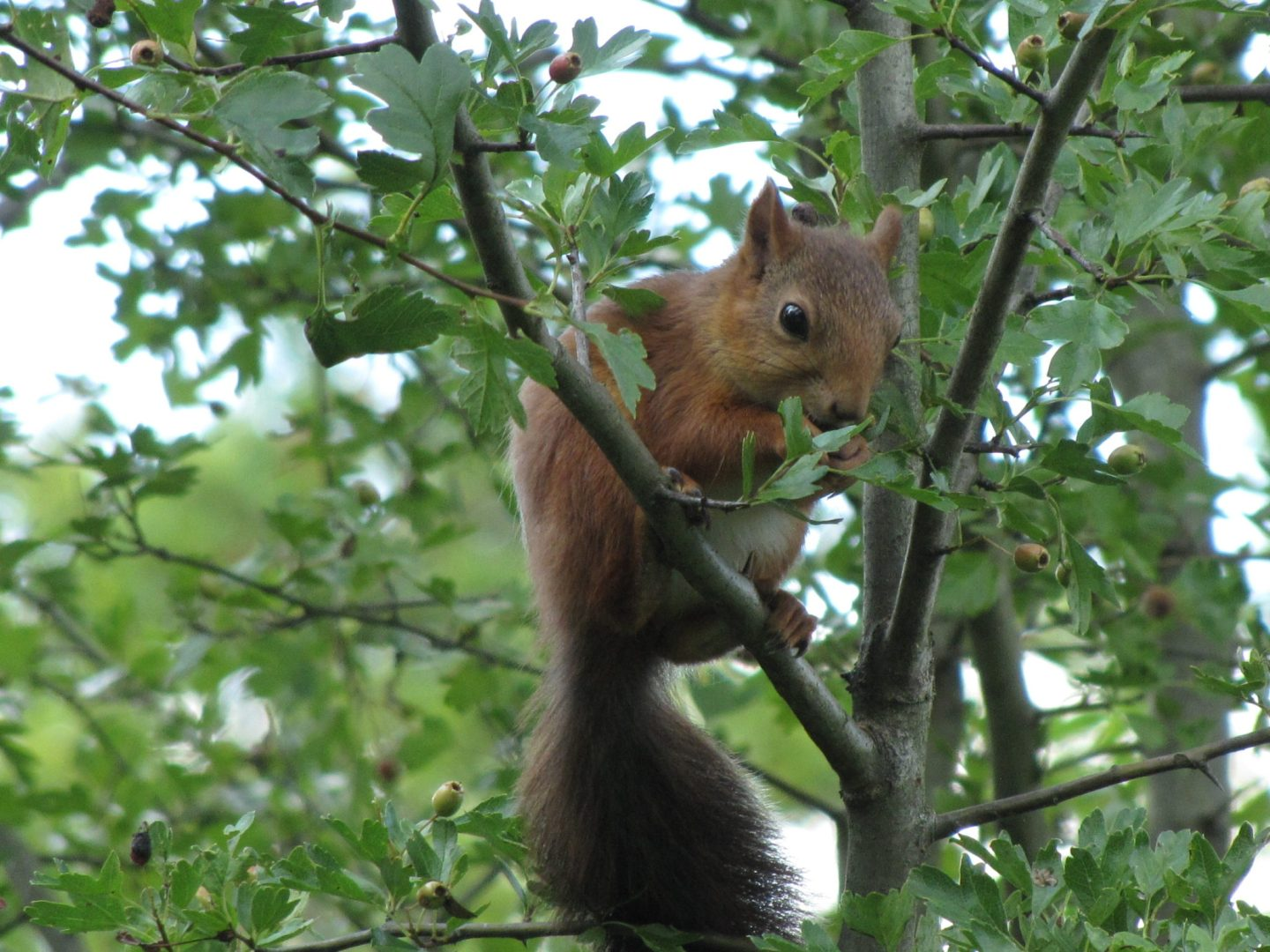 Red Squirrel, Stockholm