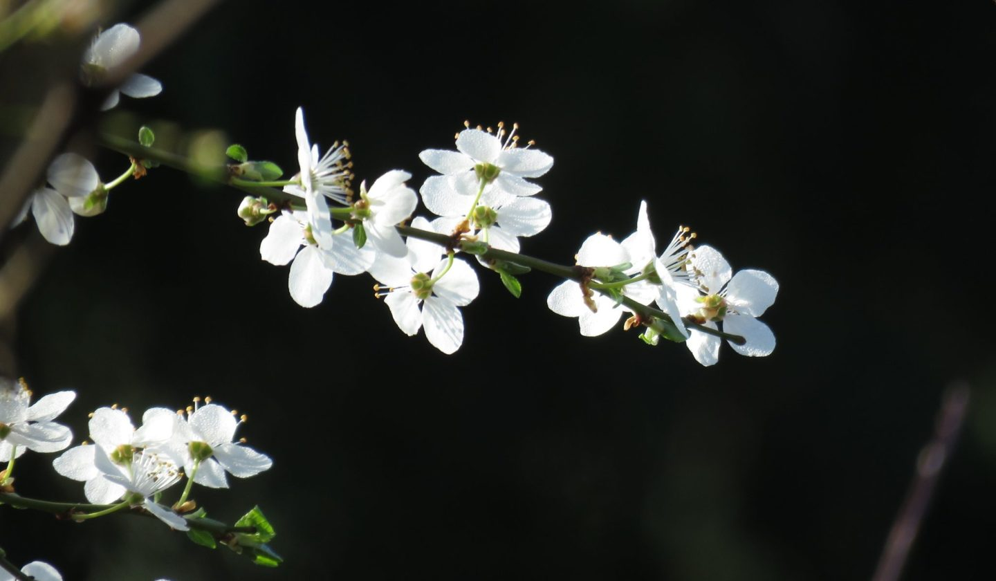 Blossoms at National Trust's The Courts, Holt, Wiltshire