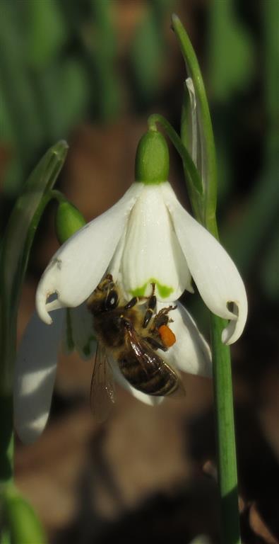Bee on snowdrop, Westonbirt Arboeretum