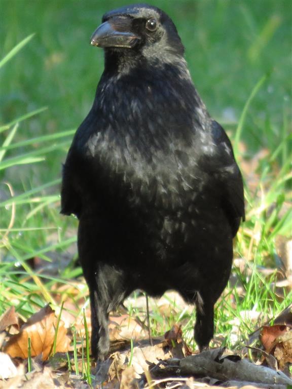 Crow, Westonbirt Arboretum
