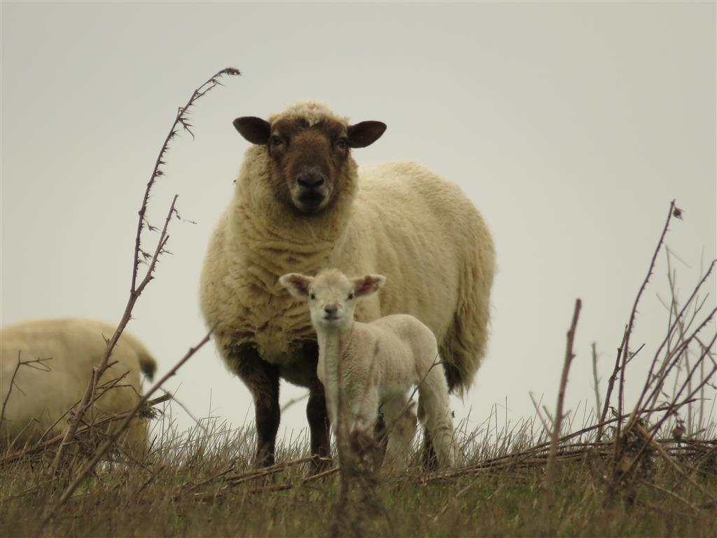 Sheep, Cotswold Water Park