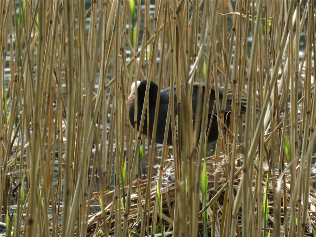 Nesting coot, Tredegar House, Wales