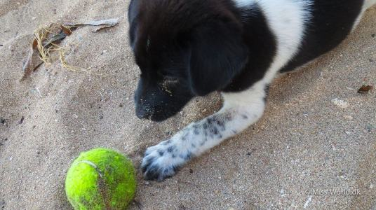 Cute puppy playing, Sanur Beach Bali
