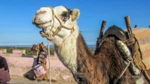 Kamel med blå øjne, Marokko