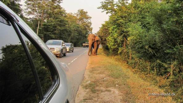 Elefant Habarana Sri Lanka