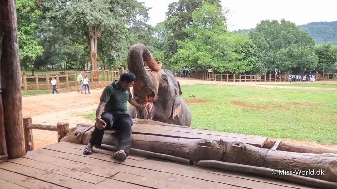 Elefant balancerer en kæp på sit hoved