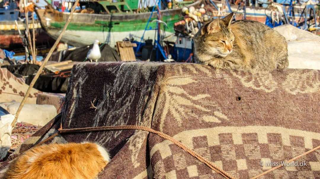 Essaouira Port Cat in the sun