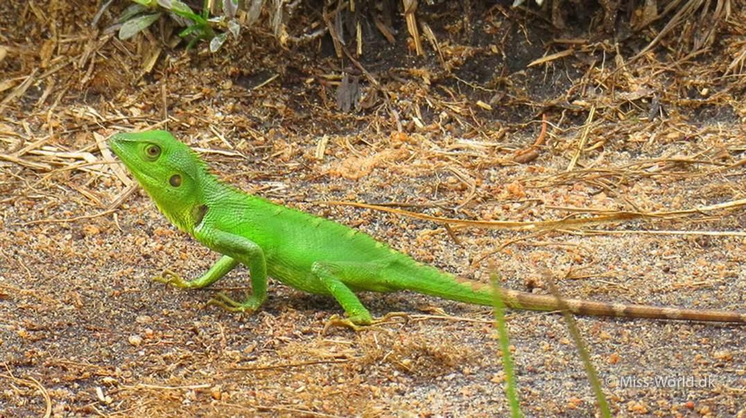 Horton Plains National Park Sri Lanka - Green lizard