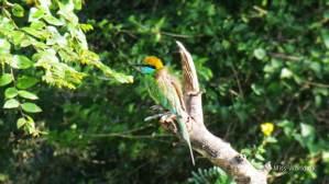 Yala National Park Sri Lanka - Bee Eater