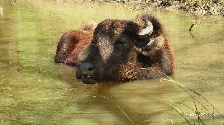 Udawalawe National Park Sri Lanka - Water Buffalo