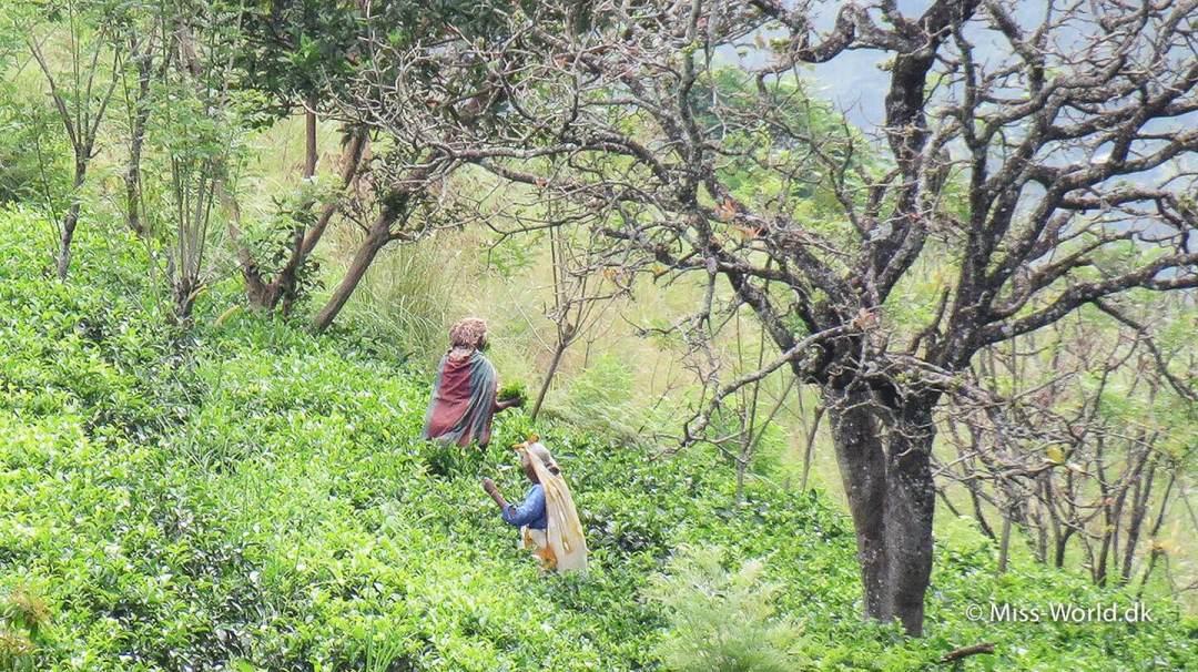 Teplukkere i Sri Lanka