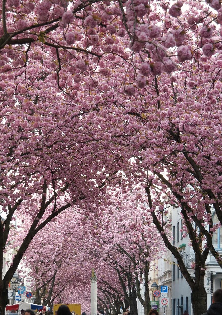 Kirschblüten Heerstraße