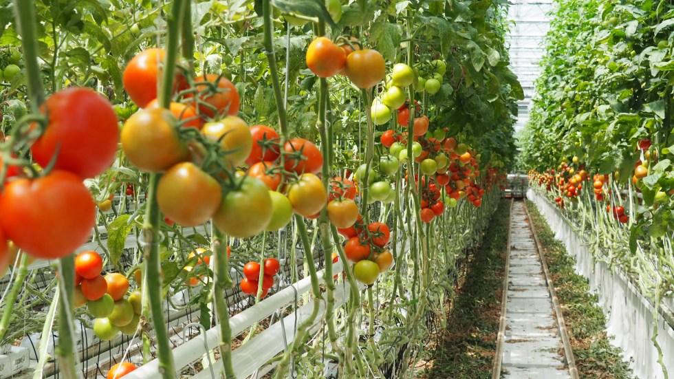 tomaten, tomatenpflanze, gemüsebau,, gewächshaus, horssol, treibhaus
