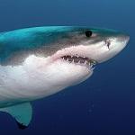 Les animaux marins les plus dangereux requin