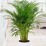Conseil entretien palmier 3