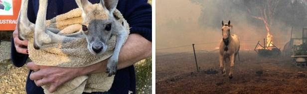 Incendies Australie animaux