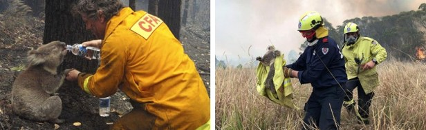 Incendies Australie koalas