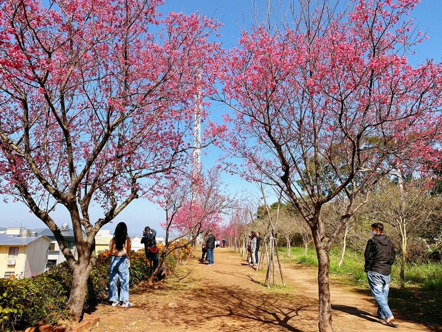 苗栗銅鑼景點【炮杖花步道】一次賞兩種花!超美櫻花隧道!雙層夢幻橘色瀑布與粉紅色花朵包圍!