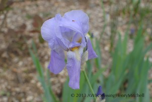 This iris smells like grape jam. It was the first iris to bloom this year, in mid-April. It's quite tall and has very thin, stiff stems.