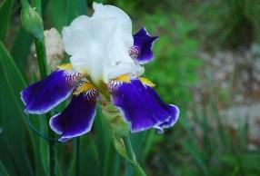 unknown bearded iris yellow beards purple falls edged in white