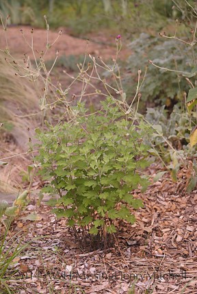 Chrysanthemum plant before its haircut