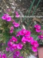 sweet william magenta ripple