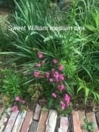 sweet william medium pink