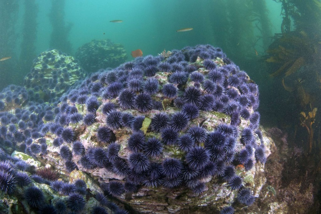 Urchin Barrens (c) Ocean Defenders Alliance