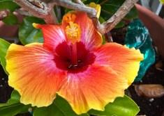 Hibbiscus flower in Mission Beach